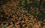 枫叶满地 1 11 枫叶满地 花卉壁纸