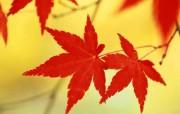 枫叶秋叶 1 46 枫叶秋叶 花卉壁纸