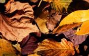枫叶秋叶 1 41 枫叶秋叶 花卉壁纸
