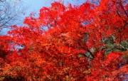 宽屏红叶 1 18 宽屏红叶 花卉壁纸