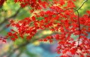宽屏红叶 1 17 宽屏红叶 花卉壁纸