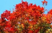 宽屏红叶 1 13 宽屏红叶 花卉壁纸