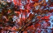 宽屏红叶 1 4 宽屏红叶 花卉壁纸