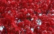 宽屏红叶 1 2 宽屏红叶 花卉壁纸