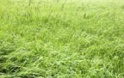 绿色草地 1 18 绿色草地 花卉壁纸