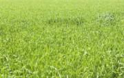 绿色草地 1 9 绿色草地 花卉壁纸