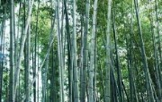 绿色竹林 1 16 绿色竹林 花卉壁纸