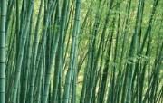 绿色竹林 1 11 绿色竹林 花卉壁纸