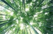 绿色竹林 1 8 绿色竹林 花卉壁纸