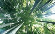 绿色竹林 1 7 绿色竹林 花卉壁纸