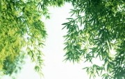 绿色竹林 1 5 绿色竹林 花卉壁纸