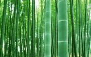 绿色竹林 1 4 绿色竹林 花卉壁纸