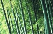 绿色竹林 1 2 绿色竹林 花卉壁纸