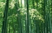 绿色竹林 1 1 绿色竹林 花卉壁纸