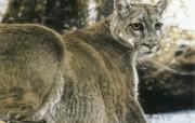 触动心灵的动物绘画 Lesley Harrison 手绘动物作品集 Lesley Harrison 手绘插画 Woodland Royalty桌面壁纸 触动心灵的动物绘画Lesley Harrison 手绘动物作品集 绘画壁纸