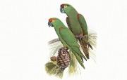 鸟类鹦鹉 绘画壁纸