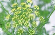 草本生活元素摄影壁纸 莳萝 芳香型草本植物图片 泰迪熊珍藏绘本第一辑 绘画壁纸