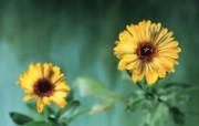 草本生活元素摄影壁纸 金盏花 草本花卉图片 泰迪熊珍藏绘本第一辑 绘画壁纸
