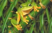 照片级的手绘插画壁纸 澳洲地理杂志06 07年手绘封面月历 Ego Guiotto手绘插画 Friendly Frog 树蛙桌面壁纸 照片级的手绘插画壁纸澳洲地理杂志0607年手绘封面月历 绘画壁纸