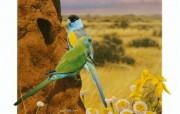 照片级的手绘插画壁纸 澳洲地理杂志06 07年手绘封面月历 Ego Guiotto手绘插画 Hooded Parrot 胡迪鹦鹉桌面壁纸 照片级的手绘插画壁纸澳洲地理杂志0607年手绘封面月历 绘画壁纸