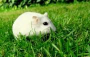 超可爱的小白鼠 (多 精选壁纸