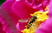 蜜蜂 微距摄影壁纸 精选壁纸
