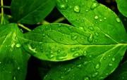 水滴绿叶(多分辨率) 精选壁纸