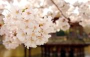 樱花单反摄影壁纸(多 精选壁纸