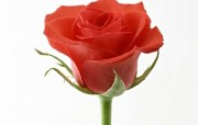 七夕情人节99张玫瑰壁纸 七夕情人节99张玫瑰壁纸 其他壁纸