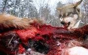 透过镜头 Snarling Wolf Ely Minnesota 明尼苏达咆哮的狼桌面壁纸 国家地理杂志2008年度最佳图片 人文壁纸