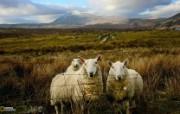 游历大千世界 国家地理杂志每日一图2010五六月摄影壁纸 苏格兰绵羊图片壁纸 国家地理杂志 2010 56月壁纸 人文壁纸