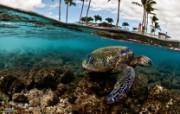 游历大千世界 国家地理杂志每日一图2010五六月摄影壁纸 夏威夷绿海龟图片壁纸 国家地理杂志 2010 56月壁纸 人文壁纸