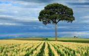 游历大千世界 国家地理杂志每日一图2010五六月摄影壁纸 巴西圣保罗的玉米田图片壁纸 国家地理杂志 2010 56月壁纸 人文壁纸
