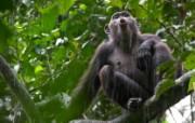 游历大千世界 chimp call 黑猩猩的呼喊图片壁纸 国家地理杂志每日一图2010三月摄影壁纸 人文壁纸