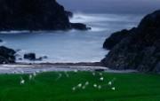 游历大千世界 sheep scotland 苏格兰 绵羊图片壁纸 国家地理杂志每日一图2010三月摄影壁纸 人文壁纸