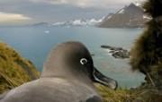 游历大千世界 sooty albatross 南乔治亚岛 乌黑的信天翁图片壁纸 国家地理杂志每日一图2010三月摄影壁纸 人文壁纸