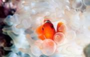 游历大千世界 国家地理杂志每日一图2010四月摄影壁纸 小丑鱼和泡状触手海葵图片壁纸 国家地理杂志每日一图2010四版 人文壁纸