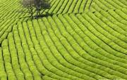 韩国旅游局官方旅游景点壁纸 韩国旅游景点 宝城绿茶田 Korea Travel Boseong Green Tea Plantation 韩国官方旅游景点壁纸 人文壁纸
