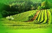 韩国风光 全南宝城绿茶园 韩国映像馆韩国旅游宣传壁纸 人文壁纸