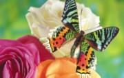 蝶恋花 设计壁纸