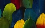 彩色羽毛和翅膀宽屏壁纸 1920x1200 壁纸13 彩色羽毛和翅膀宽屏壁 系统壁纸