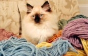 猫咪写真 宽屏 系统壁纸