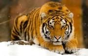 狮虎豹宽屏壁纸 系统壁纸