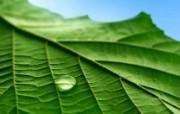 Vista 植物壁纸 系统壁纸