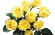 鲜花系列 玫瑰专辑 系统壁纸