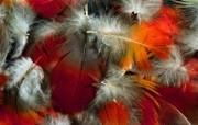 羽毛翅膀特写 2 5 羽毛翅膀特写 炫彩壁纸
