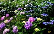 八仙花壁纸 植物壁纸