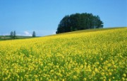 春暖花开!油菜花写真专辑 植物壁纸