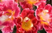 法国Meilland玫昂玫瑰宽屏壁纸 法国Meilland玫昂玫瑰宽屏壁纸 植物壁纸