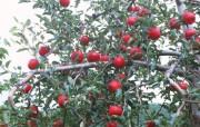 红嫩的苹果大诱惑漂亮壁纸 植物壁纸